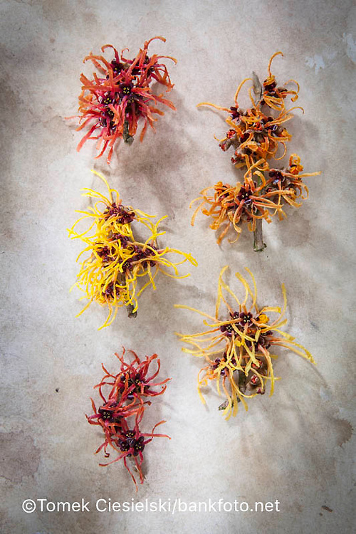 Right column: Hamamelis x intermedia `Aphrodite' , `Aurora`, Left column: Hamamelis x intermedia `Rubin`, `Orange Peel`, `Firecracker`