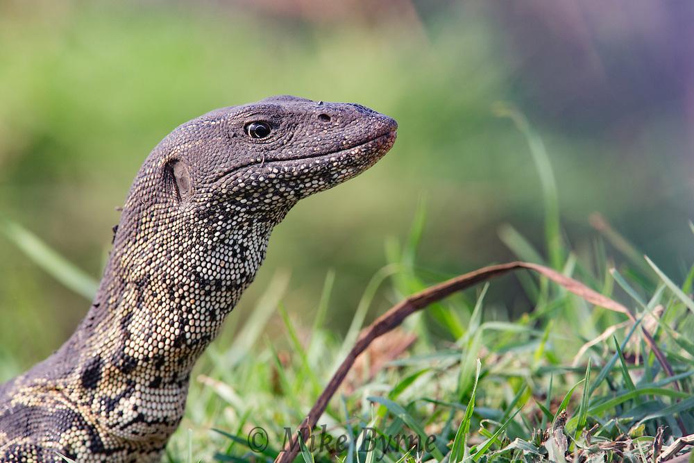 Water monitor lizard at Chobe National Park, Botswana.