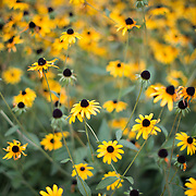 A cluster of Black-Eyed Susan flowers (Rudbeckia hirta) with selective focus.