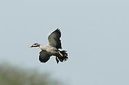Spot-billed Duck - Anas poecilorhyncha