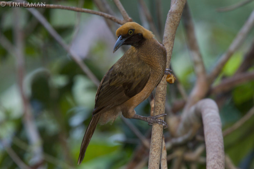 Goldie's Bird of Paradise (Paradisaea decora)..Fergusson Island, Milne Bay Province, Papua New Guinea.