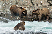 Two large adult grizzly bear boars square off over fishing space in the upper McNeil River falls at the McNeil River State Game Sanctuary on the Kenai Peninsula, Alaska. The remote site is accessed only with a special permit and is the world's largest seasonal population of brown bears.