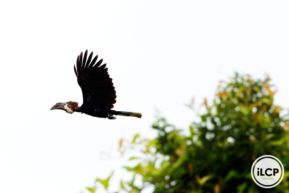 Black-casqued Hornbill (Ceratogymna atrata) female flying, Lope National Park, Gabon