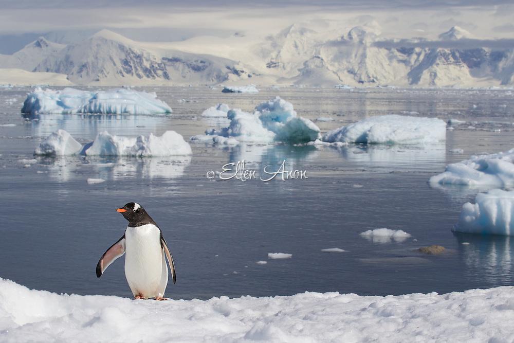 Gentoo penguin Neko Harbour, Antarctica