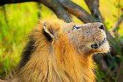 A male lion looks up at a fly photographed in profile in Klaserie, South Africa.