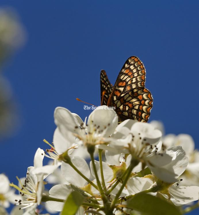 Butterfly (Benjamin Benschneider / The Seattle Times)