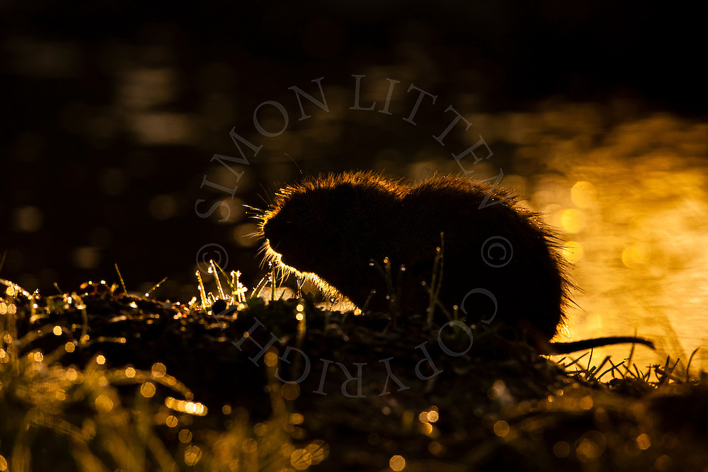 Water Vole (Arvicola terrestris) adult on bank of stream,silhouetted at dawn Norfolk, UK.