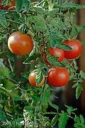 Tomato, tomatoes