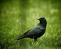 American Black Crow. Image taken with a Nikon D4 camera and 600 mm f/4 VR lens (ISO 360, 600 mm, f/4, 1/400 sec).