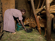 Elfnesh Finta, 35, gives her cows some water to drink, Boreda, Ethiopia.