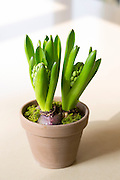 Terracotta flower pot of Hyacinth spring flower bulbs, Hyacinthus orientalis, in early growth stage before blooming