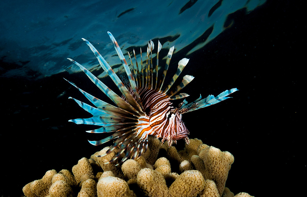During the day lionfish tend to stay hiding in the reef, but as dusk falls they become kings of reef, at the top and begin hunting.