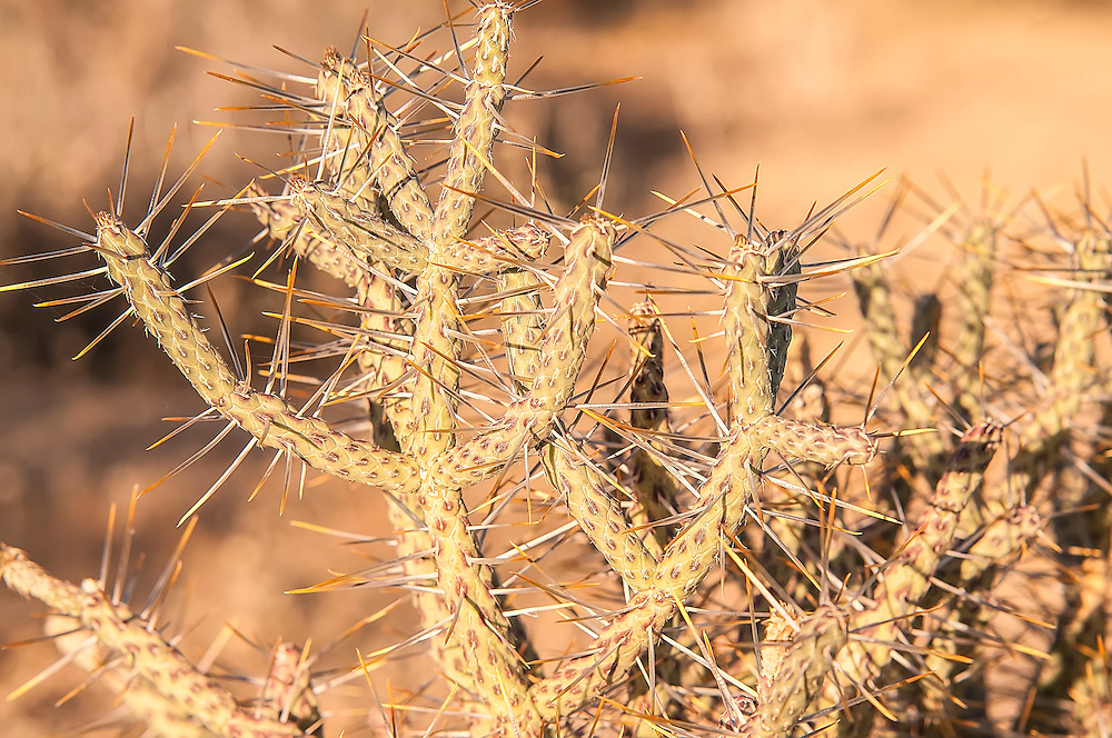 Although this pencil cholla was still months away from flowering, I photographed this one in Joshua Tree National Park to show the amazing detail and unual pattern on the stems just as the early morning sun washed across the desert..