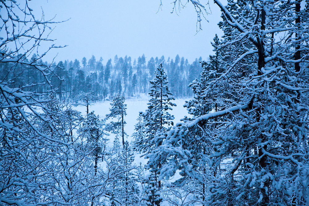 The forest at Otsamo, Lapland. 300km above the Arctic circle, these slow-growing slim trees are hundreds of years old. A campaign by Greenpeace activists and Sami reindeer herders to protect old growth boreal forests near Inari, Lapland, in Northern, Finland, led to 80,000 hectares of forest being saved from logging. After a six year battle, the forests continue to be used by the Sami people for reindeer herding.