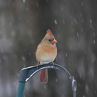 Northern Cardinal female, Cardinalis cardinalis, at bird feeder in the snow. New Jersey, USA.