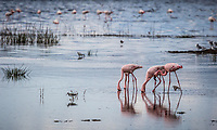 Flamingo on Lake Nakuru, Kenya.