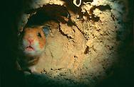Deutschland, DEU, Cuxhaven: Ein Goldhamster (Mesocricetus auratus) schaut neugierig aus seinem unterirdischen Nest. | Germany, DEU, Cuxhaven: Golden Hamster (Mesocricetus auratus) curious looking around the corner in its subterranean course. |