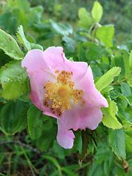 Beach Rose (Rosa rugosa), Castine, Maine, US