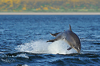 Sequence of adult Bottle-nosed Dolphins breaching,<br /> Tursiops truncatus,<br /> Moray Firth, Nr Inverness, Scotland - May