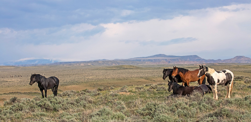 The black stallion, Lonesome, and his band spend the morning on a high ridge near one of the many waterholes at McCullough Peaks.