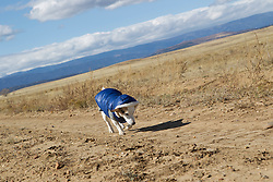 dog in a winter coat walking on a dirt road in the New Mexico desert