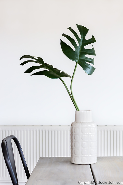 Large Monstera palm leave in a white vase and room