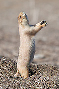 Black tailed prairie dog (Cynomys ludovicianus) in jump-yip display, Lagerman Reservoir, Longmont, Colorado