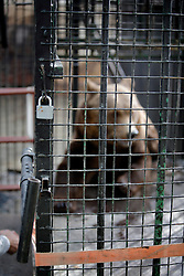 ROMANIA ONESTI 28OCT12 - A Eurasian brown bear in its cage at the Onesti zoo.....The zoo has been shut down due to non-adherence with EU regulations on the welfare of animals...The bear was rescued from the decrepit Onesti Zoo where it lived for 8 years in degrading conditions.......jre/Photo by Jiri Rezac / WSPA......© Jiri Rezac 2012