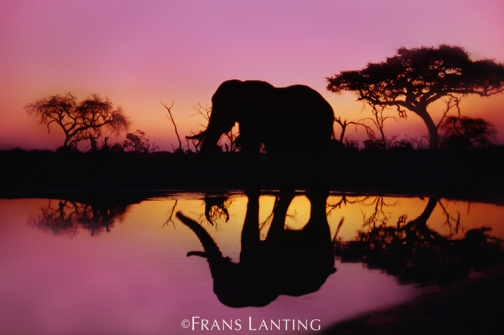 African elephant at waterhole, Okavango Delta, Botswana
