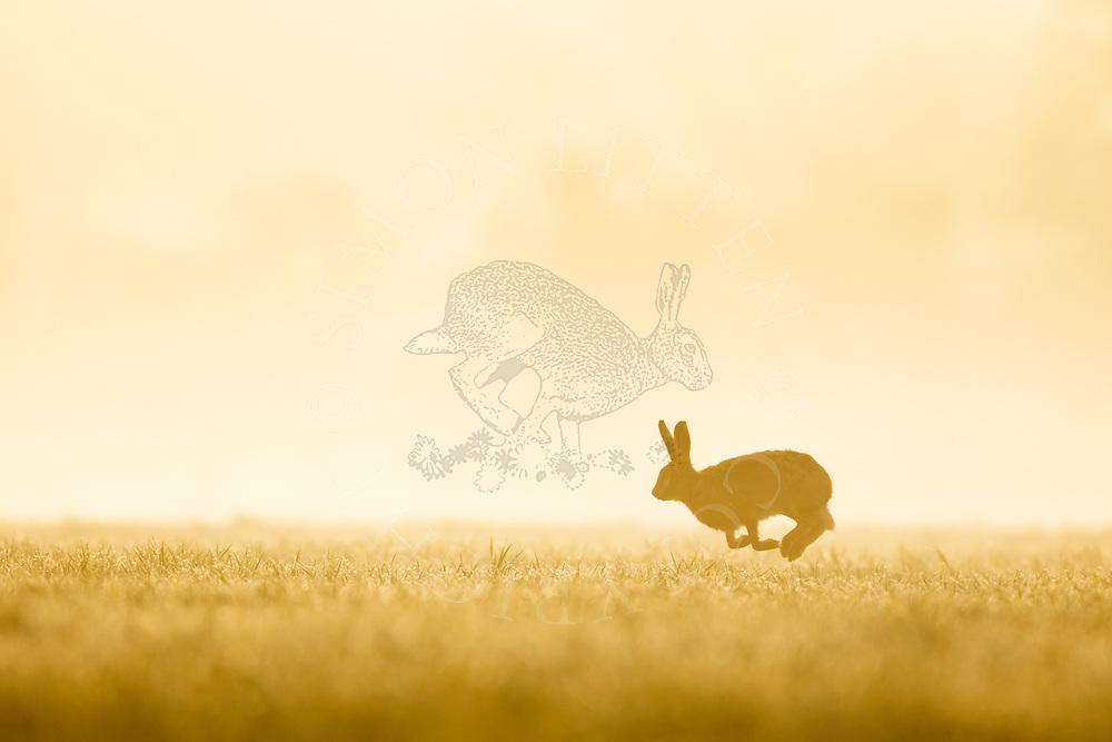 European Hare (Lepus europaeus) adult running across farmland on misty morning, Norfolk, UK.