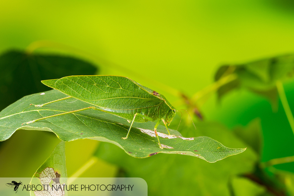 Lesser Angle-winged Katydid (Microcentrum retinerve)<br /> United States: Alabama: Tuscaloosa Co.<br /> Tulip Tree Springs off Echola Rd.; Elrod<br /> 20-Aug-2016<br /> J.C. Abbott #2859