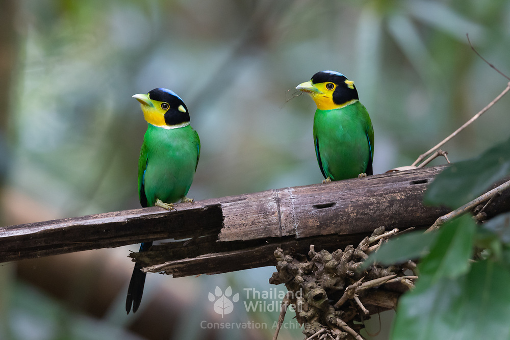 The long-tailed broadbill (Psarisomus dalhousiae) is a species of broadbill that is found in the Himalayas, extending east through Northeastern India to Southeast Asia. It is the only bird in the genus Psarisomus.