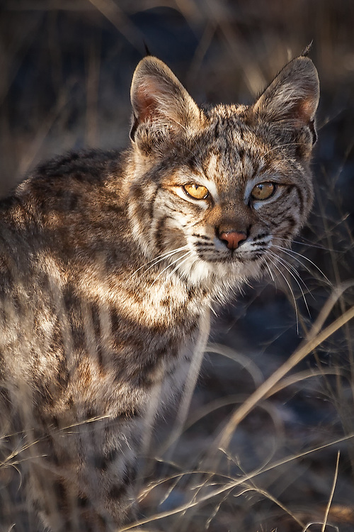 A wild bobcat in the high desert of Plactias, New Mexico.