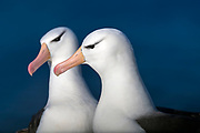 Pair of black-browed Albatross (Thalassarche melanophrys), Saunders Island, the Falklands.