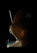"Melanocetidae (Melanocetus murrayi (Murrays abyssal anglerfish)) deep-sea anglerfish - fishing pole with bioluminescent lure used to attract prey. The bioluminescence is produced by symbiotic bacteria; these bacteria are thought to enter the esca via an external duct. [size of single organism: 12 cm]| Dieses ca. 12 cm große Exemplar gehört zu der Gruppe der Tiefseeanglerfische. Die Anglerfische umfassen ca. 160 Arten. Allen gemeinsam ist die ""Angel"", eine durch Millionen von Leuchtbakterien beleuchtete Köderatrappe, die vor dem Maul bewegt werden kann."