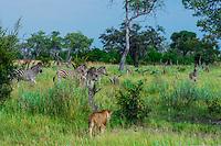 Lioness walking near a herd of zebras,Kwando Concession, Linyanti Marshes, Botswana.