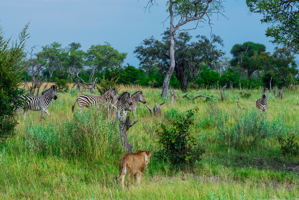 Lioness walking near a herd of zebras,Kwando Concession, Linyanti Marshes, Botswana.