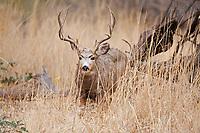 A Mule Deer walks a mountain valleys tall grass in Southern Utah.