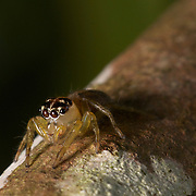 A jumping spider of the family Salticidae.