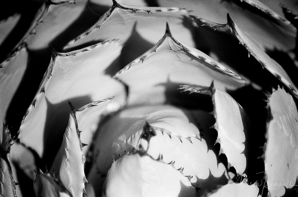 Serrated edges and plate-like leaves of a desert agave, shot on film