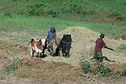 GONDAR/ETHIOPIA..On the road from Gondar to Bahar Dar..Threshing wheat the traditional way by making cows walk over it..(Photo by Heimo Aga)