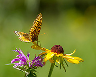 Fritillary butterfly lands on black-eyed Susan blossom, with horsemint blossom, its primary source of nectar, close by, mountain meadow, Jemez Mountains, NM. © 2010 David A. Ponton