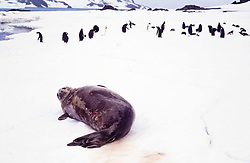 Foca e pinguins / Seal and penguins