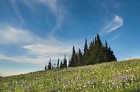 Alpine meadows, Mount Baker Wilderness Washington