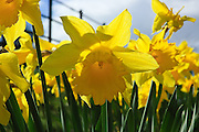 Daffodils in spring beside the roadside