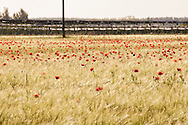 Poppies in the Centre-Val du Loire region of France.