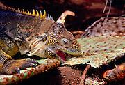 Land iguana camouflaged among cactus plants and feeding on leaf, Galapagos Islands, Ecuador