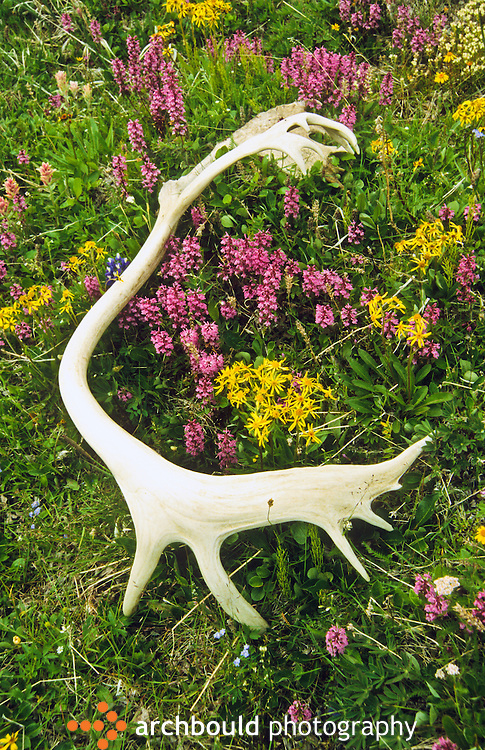 Caribou antler lays in arctic wild flowers.