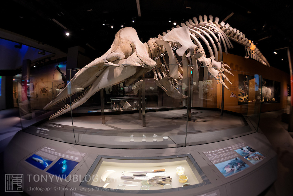 Skeleton of female sperm whale, dubbed Jubilee, on display at the Lee Kong Chian Natural History Museum in Singapore. This 10.6m adult whale was found off Jurong Island in July 2015, with a wound in the caudal area that may have been caused by a ship propellor. During the necropsy, plastics were also found in her gastrointestinal system.