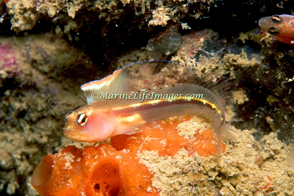 Hornless Blenny inhabit reefs and areas of rocky rubble in coastal Venezuela; picture taken Margareta Is, Venezuela.